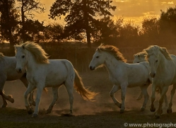 camargue-horses-extension-copyright-photographers-on-safari-com-9414