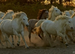 camargue-horses-extension-copyright-photographers-on-safari-com-9415