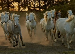 camargue-horses-extension-copyright-photographers-on-safari-com-9416