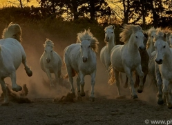 camargue-horses-extension-copyright-photographers-on-safari-com-9417