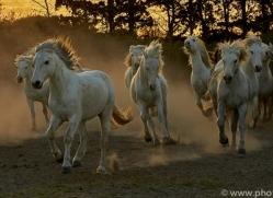 camargue-horses-extension-copyright-photographers-on-safari-com-9418