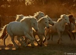 camargue-horses-extension-copyright-photographers-on-safari-com-9422