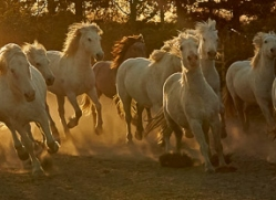 camargue-horses-extension-copyright-photographers-on-safari-com-9423