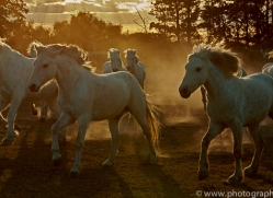 camargue-horses-extension-copyright-photographers-on-safari-com-9424