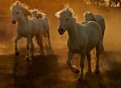 camargue-horses-extension-copyright-photographers-on-safari-com-9425