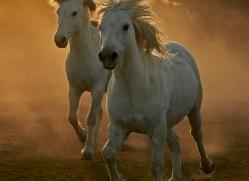 camargue-horses-extension-copyright-photographers-on-safari-com-9426