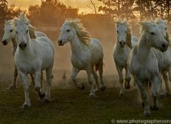 camargue-horses-extension-copyright-photographers-on-safari-com-9427