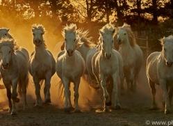 camargue-horses-extension-copyright-photographers-on-safari-com-9429