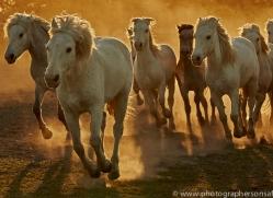 camargue-horses-extension-copyright-photographers-on-safari-com-9431