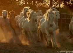 camargue-horses-extension-copyright-photographers-on-safari-com-9432