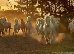 camargue-horses-extension-copyright-photographers-on-safari-com-9433