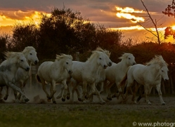 camargue-horses-extension-copyright-photographers-on-safari-com-9434