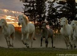 camargue-horses-extension-copyright-photographers-on-safari-com-9435