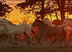 camargue-horses-extension-copyright-photographers-on-safari-com-9436