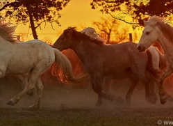 camargue-horses-extension-copyright-photographers-on-safari-com-9438
