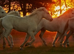 camargue-horses-extension-copyright-photographers-on-safari-com-9440