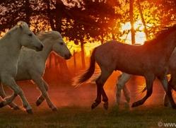 camargue-horses-extension-copyright-photographers-on-safari-com-9441