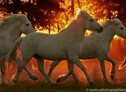 camargue-horses-extension-copyright-photographers-on-safari-com-9443