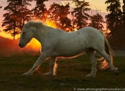 camargue-horses-extension-copyright-photographers-on-safari-com-9445