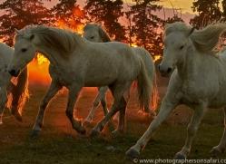 camargue-horses-extension-copyright-photographers-on-safari-com-9446