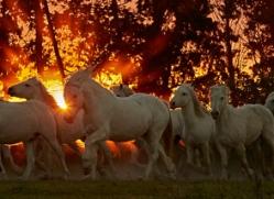 camargue-horses-extension-copyright-photographers-on-safari-com-9449