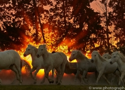 camargue-horses-extension-copyright-photographers-on-safari-com-9451