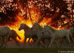 camargue-horses-extension-copyright-photographers-on-safari-com-9452