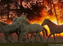 camargue-horses-extension-copyright-photographers-on-safari-com-9454