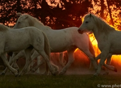 camargue-horses-extension-copyright-photographers-on-safari-com-9455