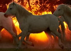 camargue-horses-extension-copyright-photographers-on-safari-com-9456