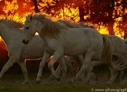 camargue-horses-extension-copyright-photographers-on-safari-com-9457
