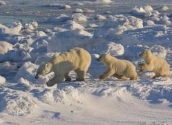polar-bear-1000-cape-churchill-copyright-photographers-on-safari-com
