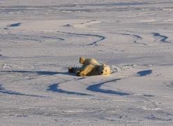 polar-bear-1002-cape-churchill-copyright-photographers-on-safari-com