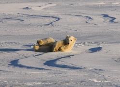 polar-bear-1003-cape-churchill-copyright-photographers-on-safari-com