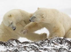 polar-bear-1007-cape-churchill-copyright-photographers-on-safari-com