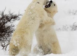 polar-bear-1008-cape-churchill-copyright-photographers-on-safari-com