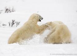 polar-bear-1010-cape-churchill-copyright-photographers-on-safari-com