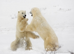 polar-bear-1011-cape-churchill-copyright-photographers-on-safari-com