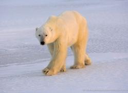 polar-bear-1012-cape-churchill-copyright-photographers-on-safari-com