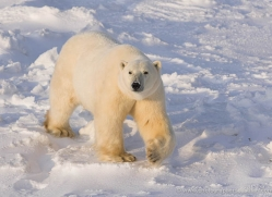 polar-bear-1015-cape-churchill-copyright-photographers-on-safari-com