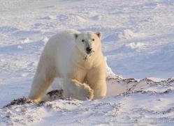polar-bear-1017-cape-churchill-copyright-photographers-on-safari-com