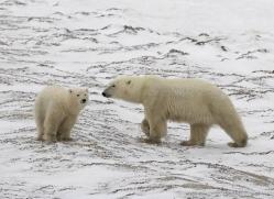 polar-bear-1021-cape-churchill-copyright-photographers-on-safari-com