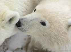 polar-bear-1022-cape-churchill-copyright-photographers-on-safari-com