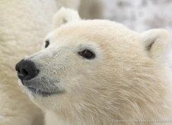 polar-bear-1023-cape-churchill-copyright-photographers-on-safari-com