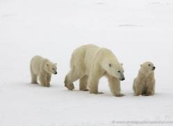 polar-bear-1027-cape-churchill-copyright-photographers-on-safari-com