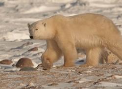 polar-bear-885-cape-churchill-copyright-photographers-on-safari-com