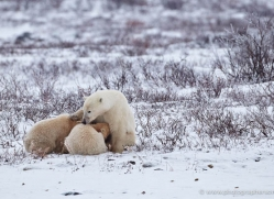 polar-bear-887-cape-churchill-copyright-photographers-on-safari-com