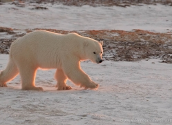 polar-bear-890-cape-churchill-copyright-photographers-on-safari-com