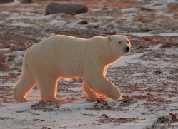 polar-bear-891-cape-churchill-copyright-photographers-on-safari-com