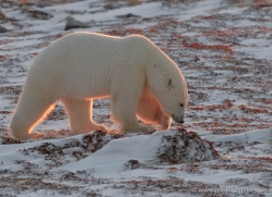polar-bear-892-cape-churchill-copyright-photographers-on-safari-com
